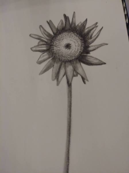 SunflowerDrawingInProgressJan2018