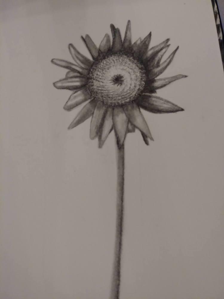 SunflowerDrawingInProgressJan2018